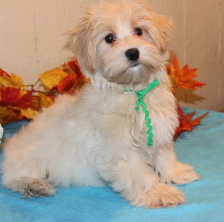We have beautiful Havanese puppies for sale offer Dogs & Puppies