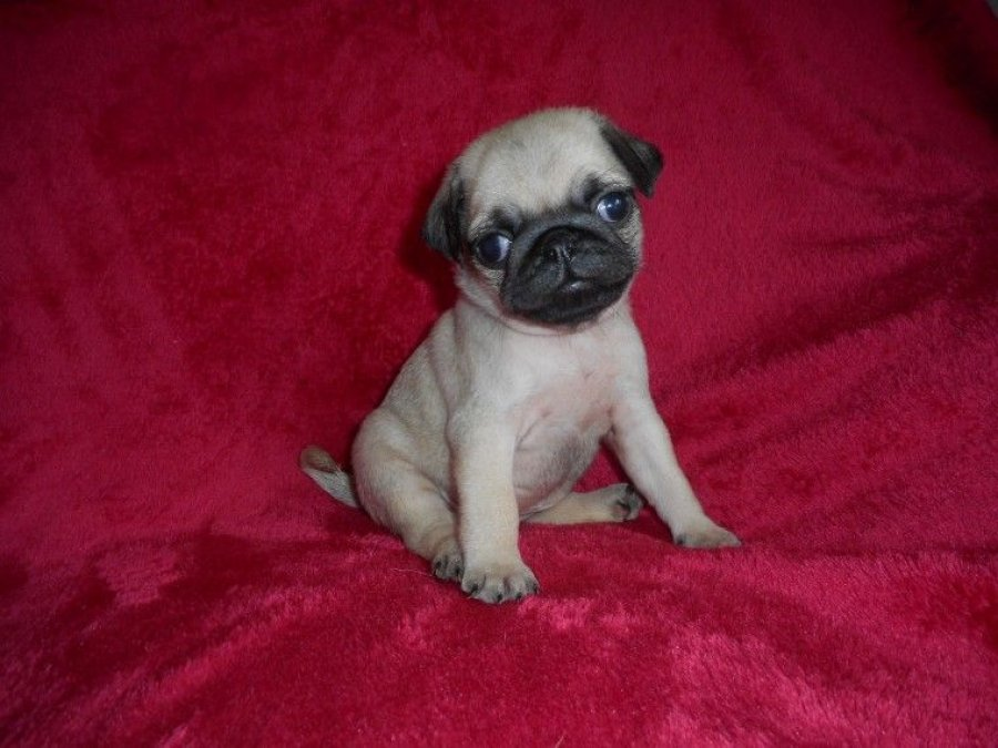 Two Beautiful Pug Puppies Available for sale offer Pug