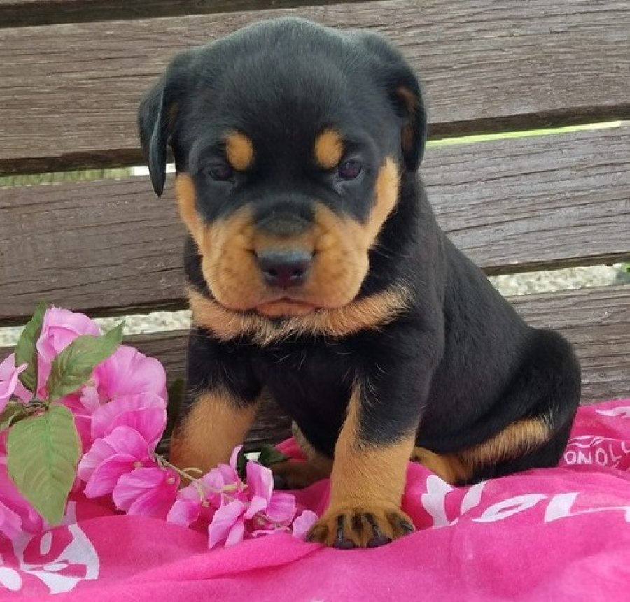 Rottweiler puppies available for sale offer Rottweiler