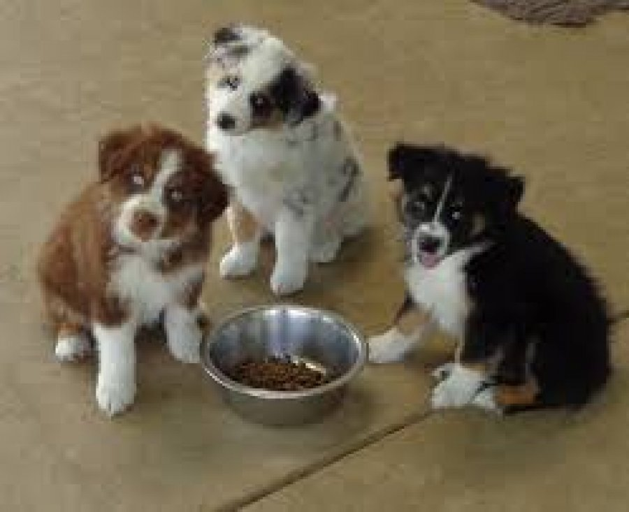 Purebred Australian Shepherd Puppies for sale offer Dogs & Puppies