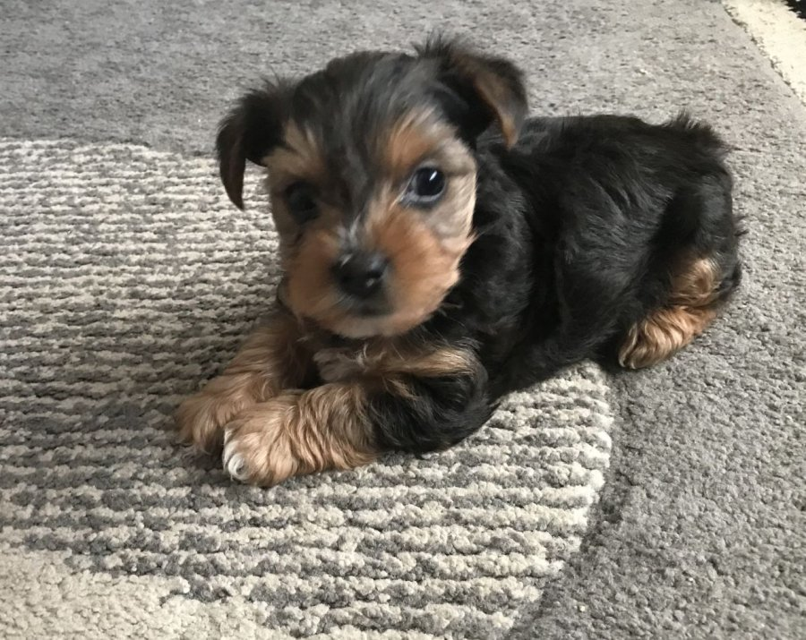 AKC Registered Yorkie Puppies for sale offer Yorkshire Terrier