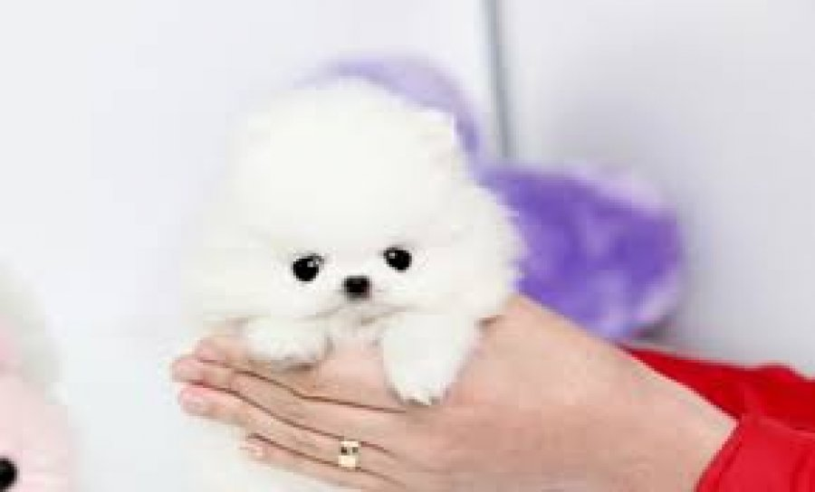 Cute and playful Teacup Pomeranian puppies for sale offer Pomeranian