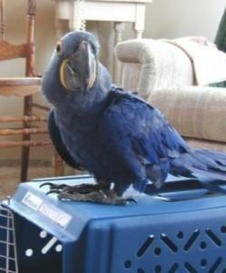 Pair of Hyacinth Macaw Parrots for Sale Offer