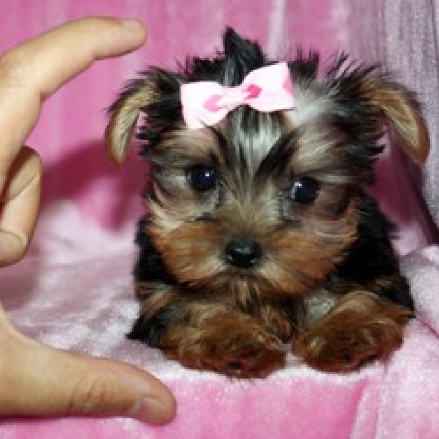 Akc registered male and female Teacup Yorkie puppies for