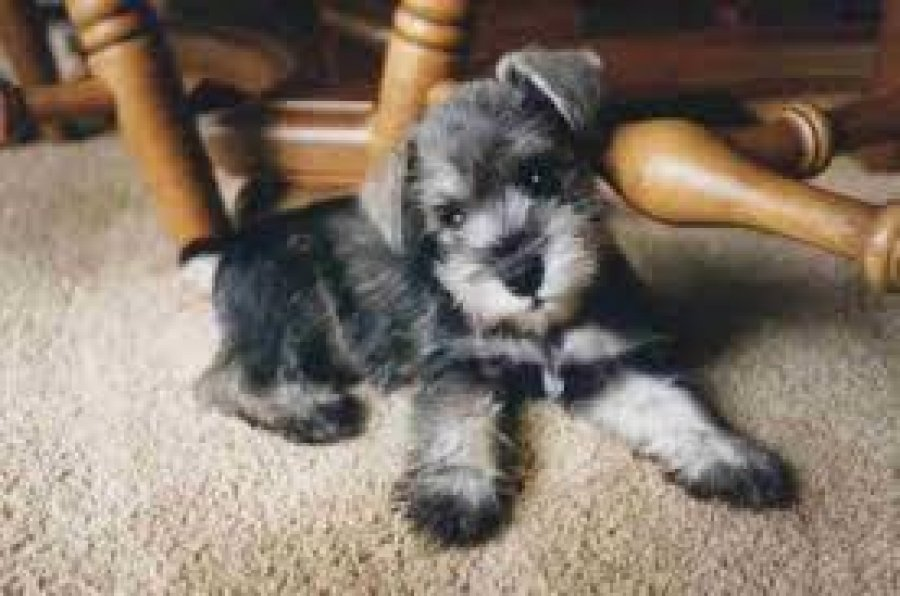 Adorable Miniature Schnauzer Puppies Males Females For Sale Offer
