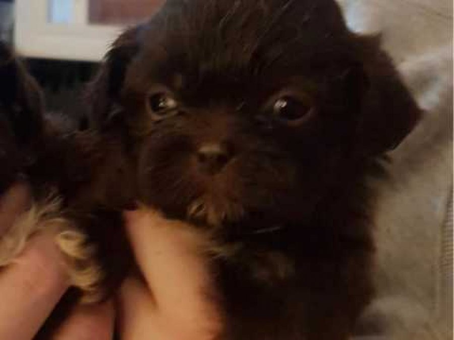 Kc Reg Shihtzu Pups Chocolates And Blacks For Sale Offer