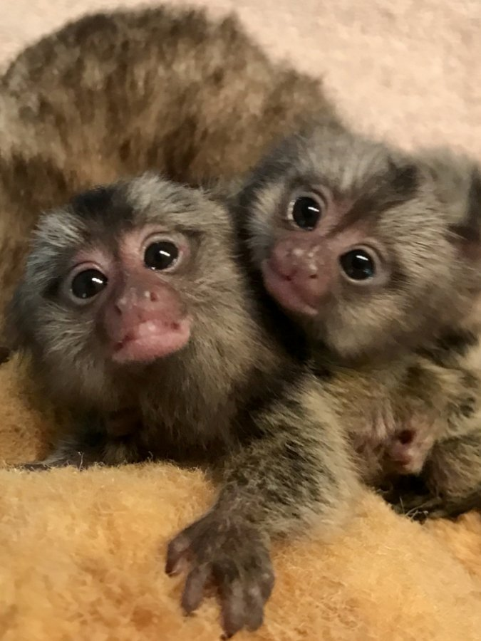 Finger Baby Marmoset Monkeys Available offer Exotic pets