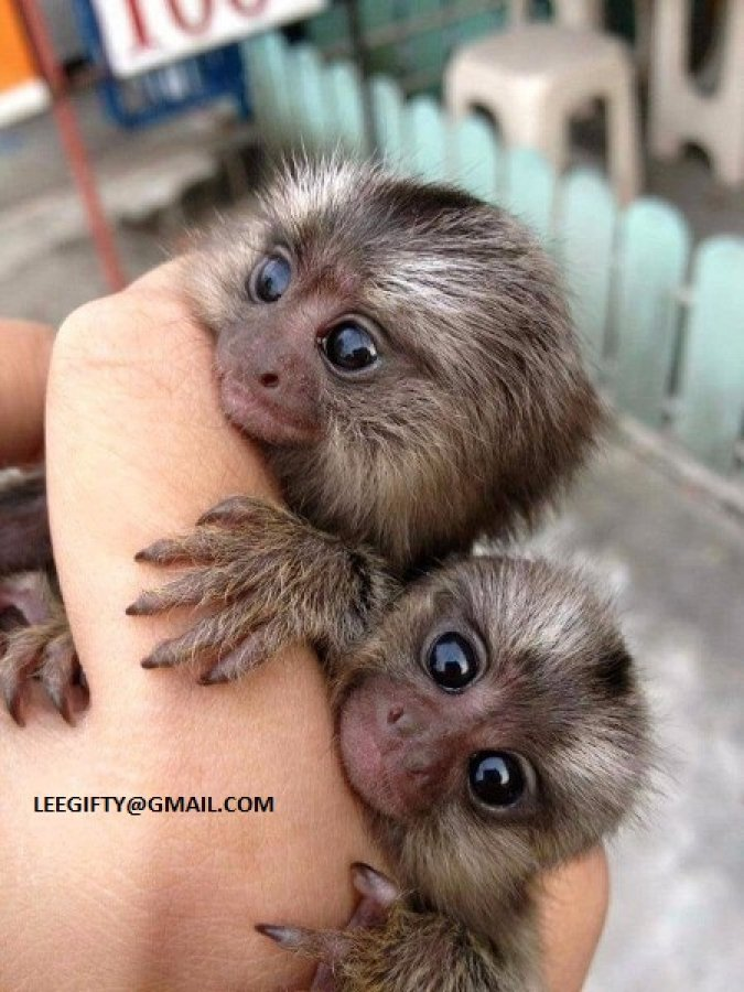 Twin Finger Baby Marmoset Monkeys offer Exotic pets