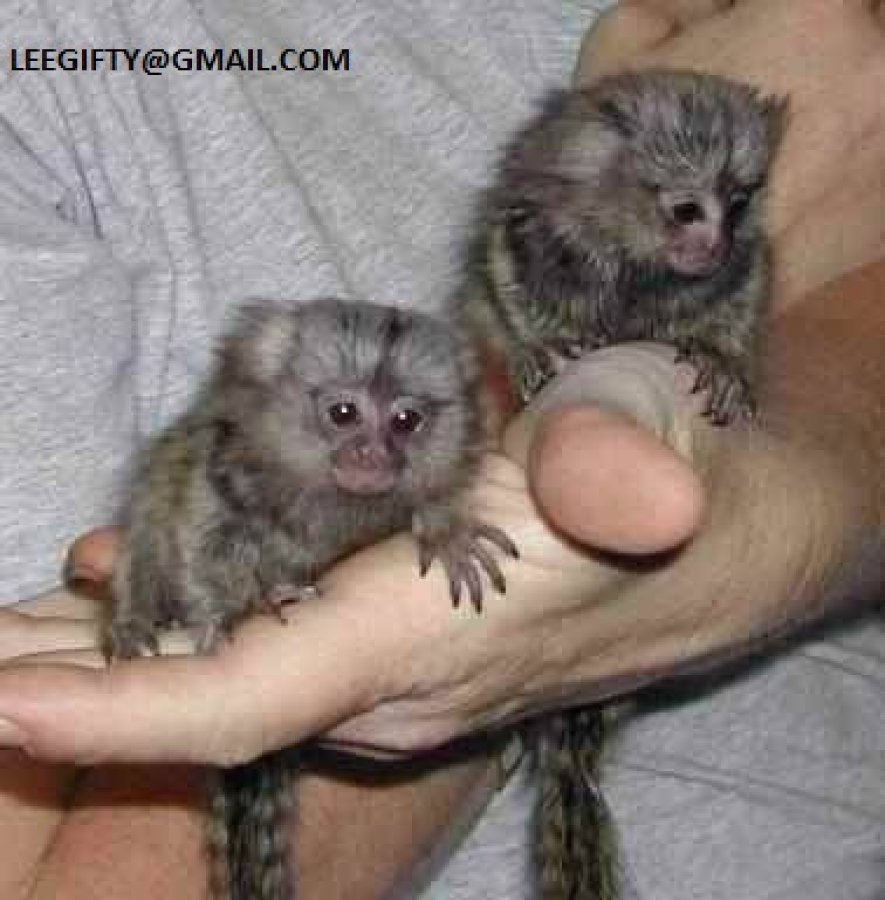 Trained Baby Marmoset Monkeys Available offer Exotic pets