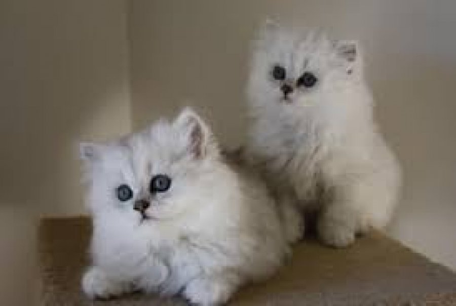 We Have Chinchilla Kittens Available For Sale Offer