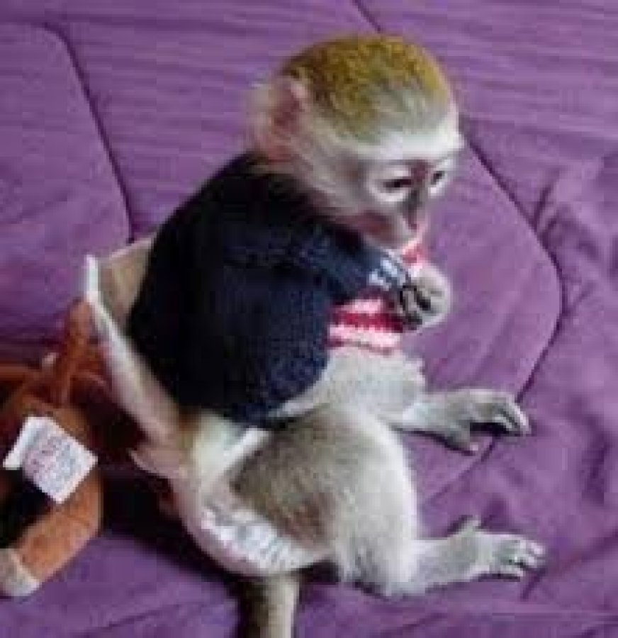 Beautiful Capuchin Monkey Available for sale Offer