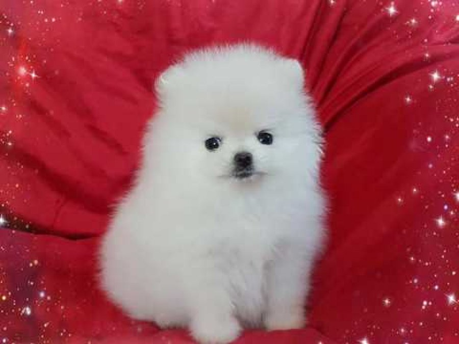 One In A Million Pure White Tiny Boy offer Pomeranian
