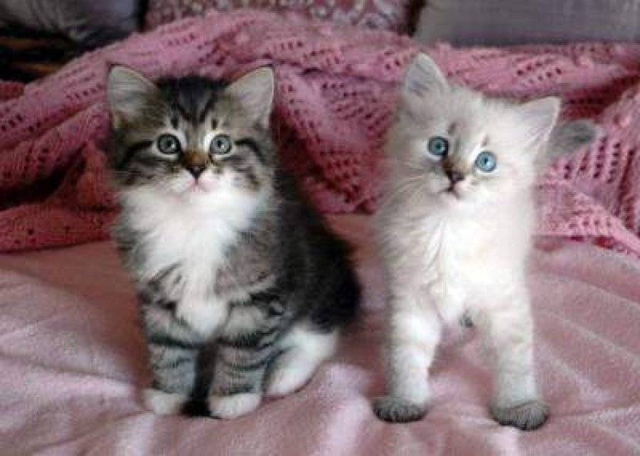 beautiful Siberian Kittens Available for sale  offer Siberian