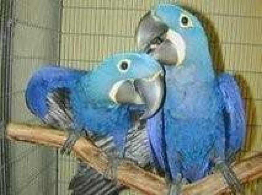 Adorable socialized Hyacinth Macaw Parrots for Sale  offer Macaws