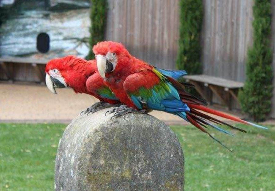 Scarlet Macaw Parrots For Sale offer Macaws