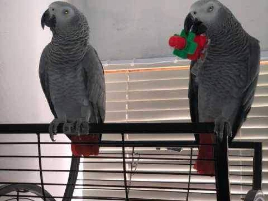 African Grey Parrots Available offer African Greys