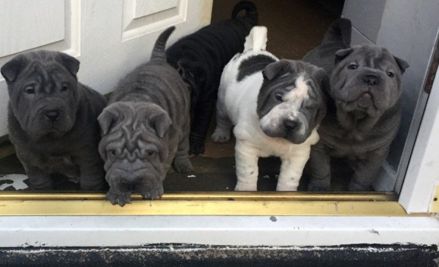 Shar Pei Only One In The Uk True Tan! offer Dogs & Puppies