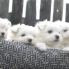 Angelic Dolls - trained and healthy Maltese  Picture