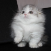 Top Quality Imported Male & Female Munchkin Kittens for sale Picture