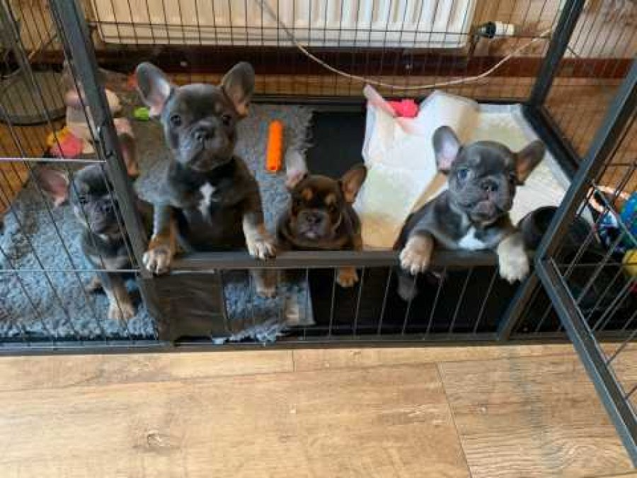 Blue Frenchies For Sale offer Bulldog