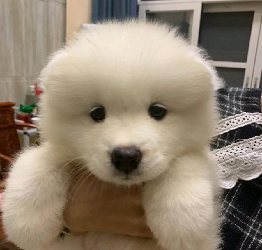 Purebred Samoyed puppies offer Other Breeds of Dogs