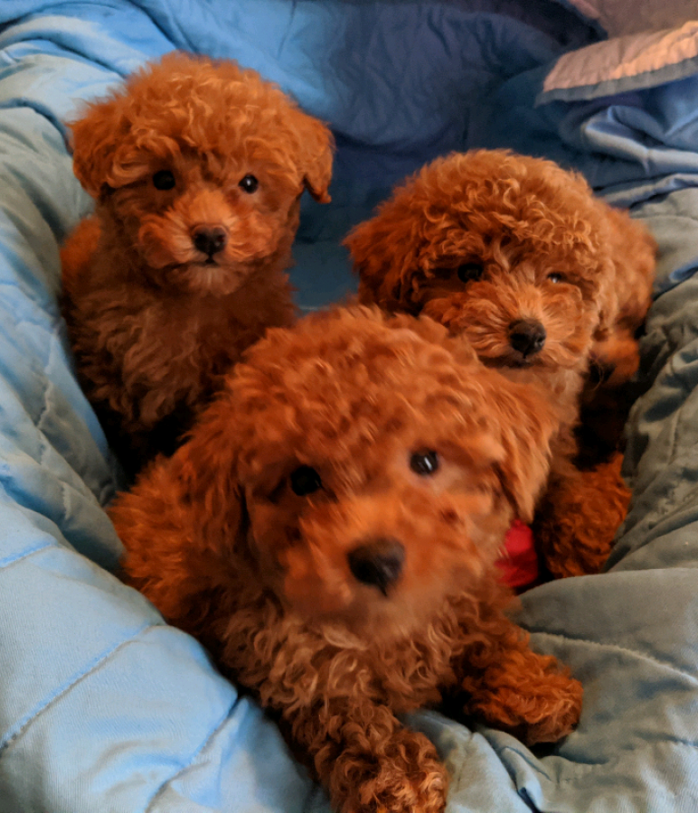 Gorgeous Red Poodle Puppies Offer Malta