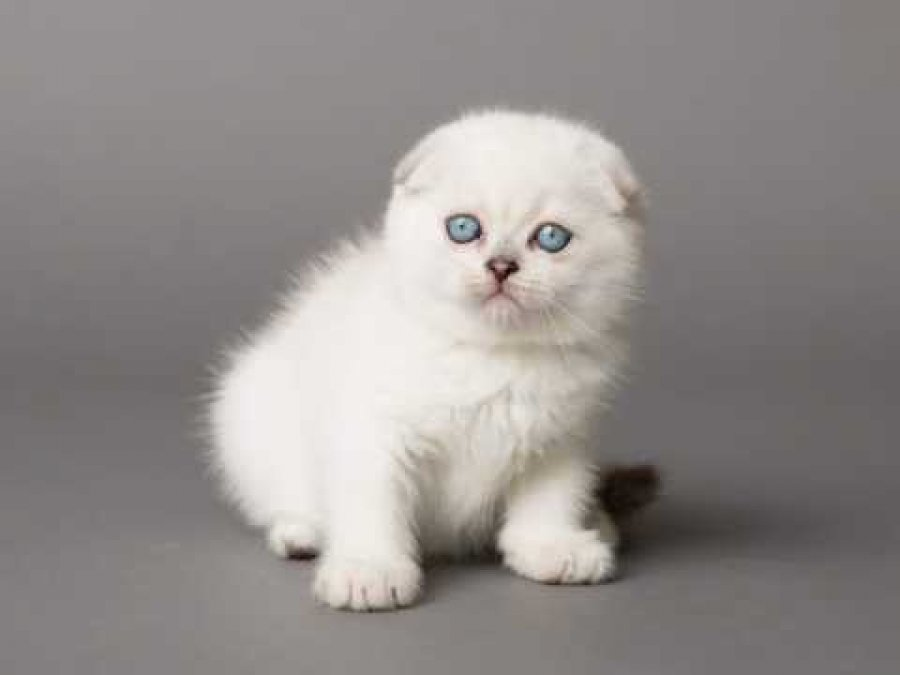 Gorgeous Scottish Fold Garfield Offer