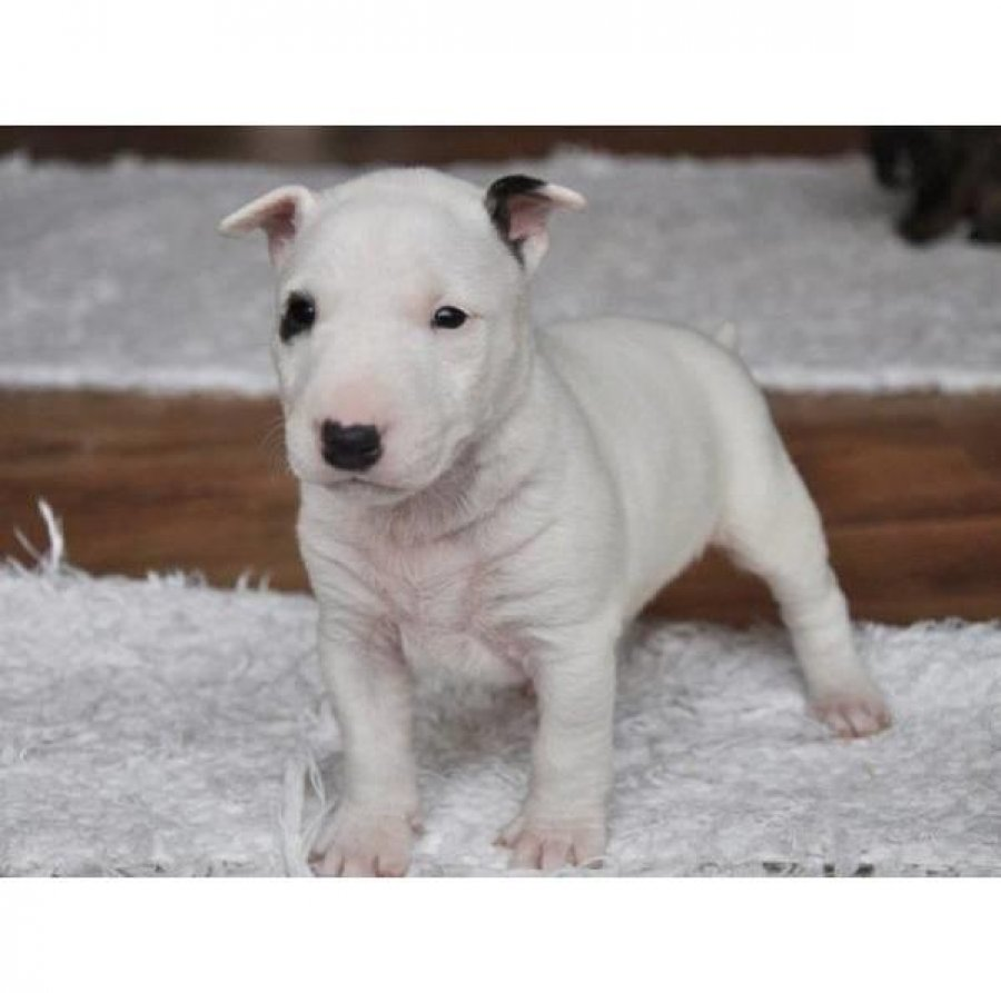English Bull Terrier Pups Delivery Possible offer Dogs & Puppies