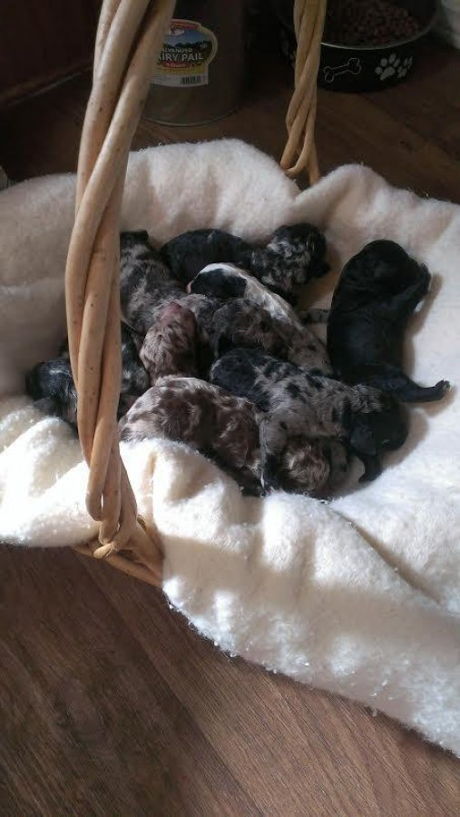 Aussiedoodles pups offer Dogs & Puppies