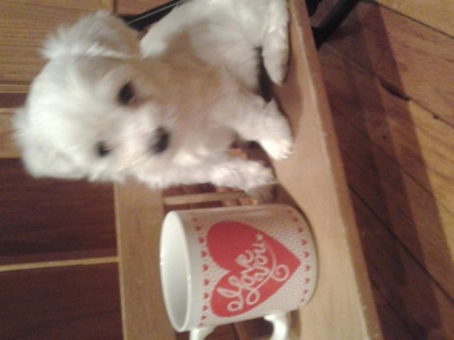 SHICHON PUPPIES FOR SALE offer Dogs & Puppies