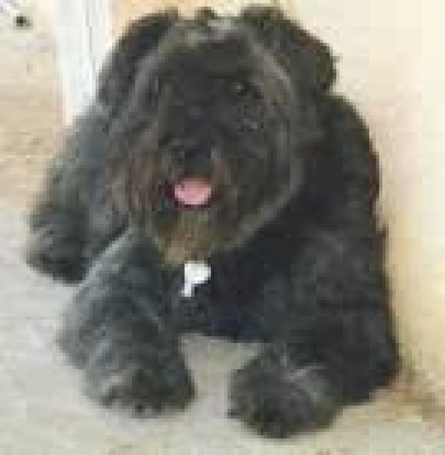 Bouvier des Flandres offer Dogs & Puppies