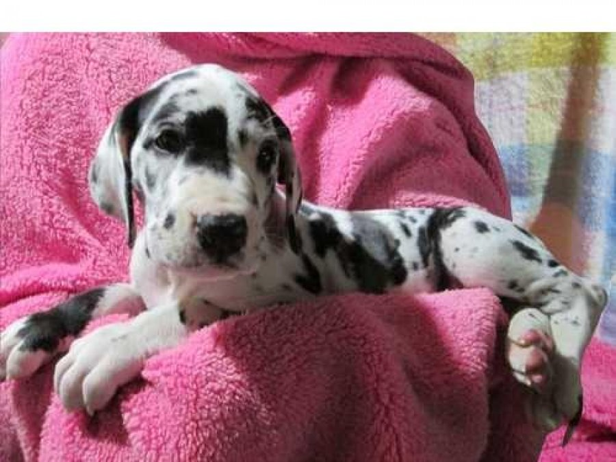 Great Dane Puppies for loving homes offer Dogs & Puppies