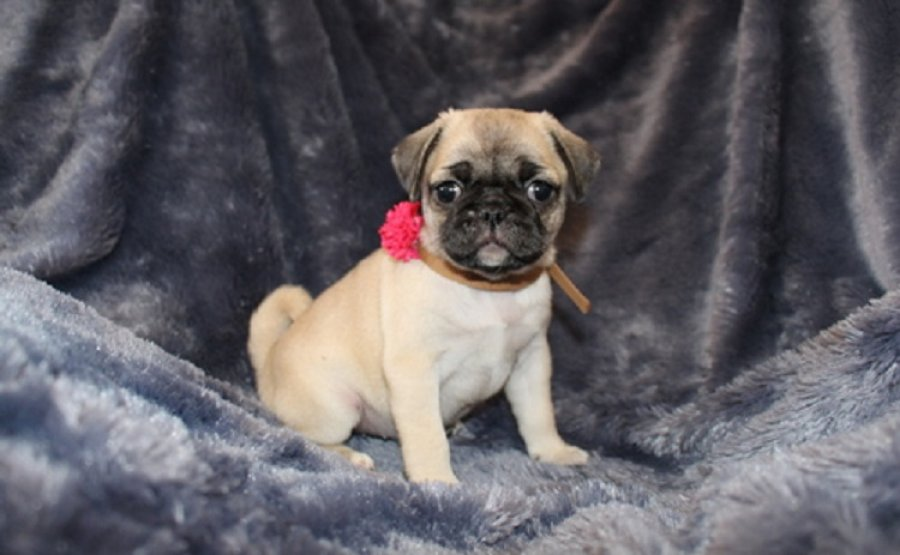 Available Pug Pups For adoption Adorable offer Pug