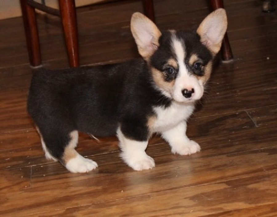 Available Pembroke Welsh Corgi Pups For adoption offer Other Breeds of Dogs