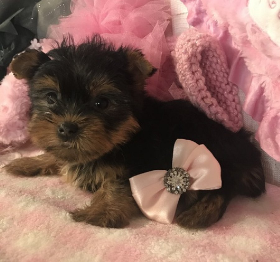Cute Male and Female Yorkie puppies offer Yorkshire Terrier