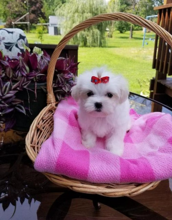 Cute Male and Female Maltese puppies offer Maltese
