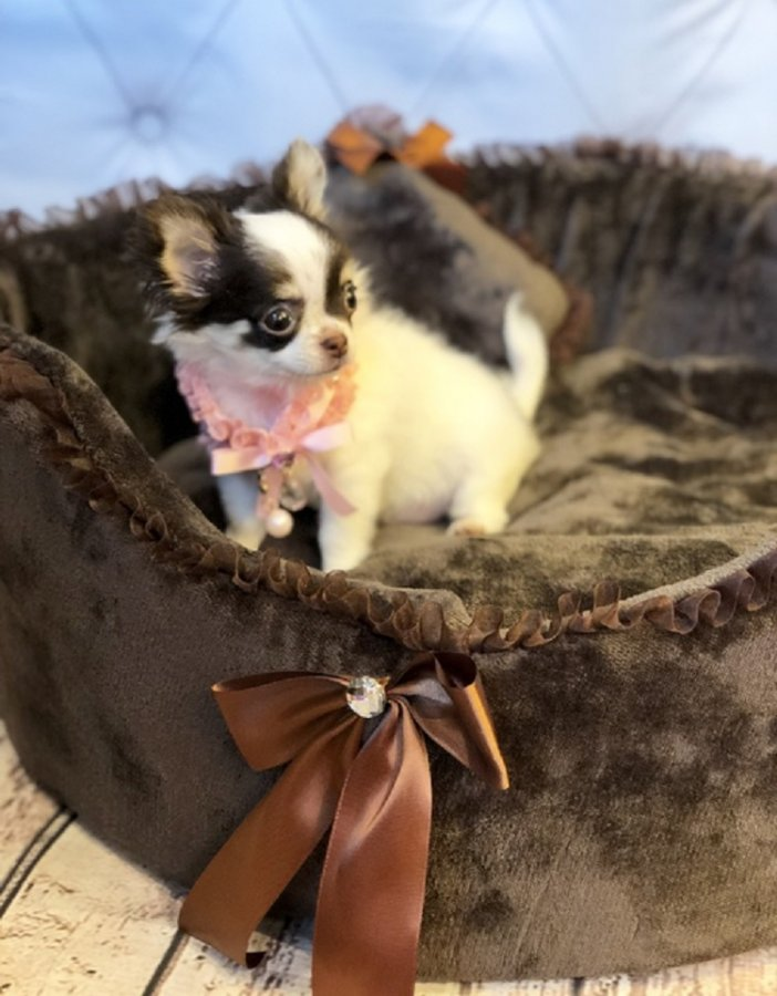 Available Chihuahua Pups For adoption offer Chihuahua