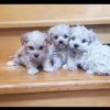 MALTIPOO  puppies  Picture