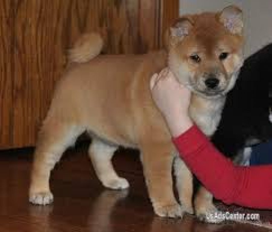 Shiba inu Puppies for Sale offer Dogs & Puppies