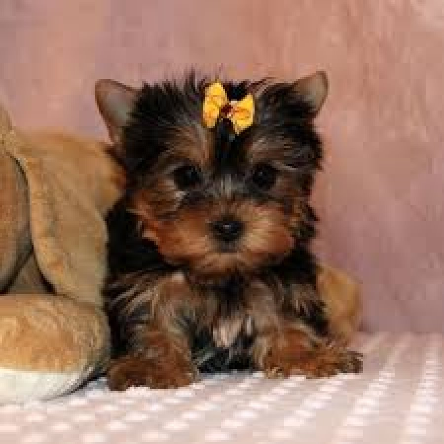Excellent Teacup Yorkie Puppies for sale offer Yorkshire Terrier