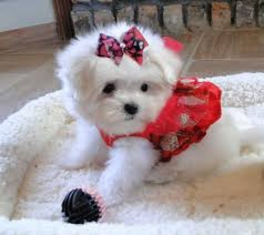 Teacup Maltese Puppies for Sale offer Maltese