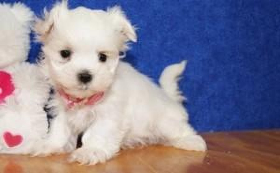 Super cute Teacup Maltese Puppies are still available for any lovey home. offer Maltese