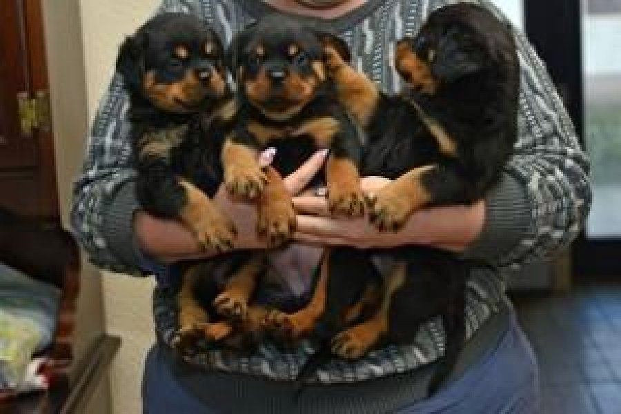 Quality Rottweiler Puppies for Sale offer Rottweiler