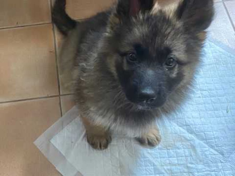 German Shepherd Puppies. Ready To Leave offer German Shepherd