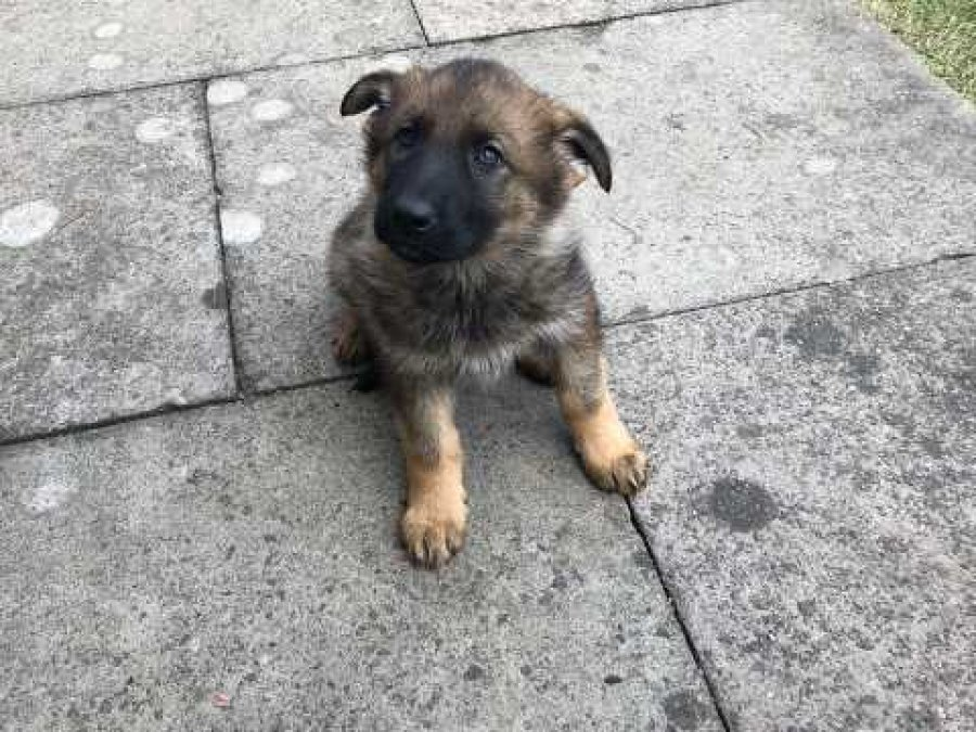 German Shepherd Male For Sale offer German Shepherd