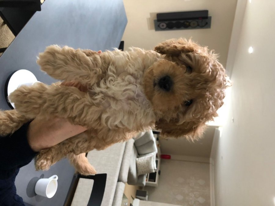 Toy Poodle Puppies offer Poodle