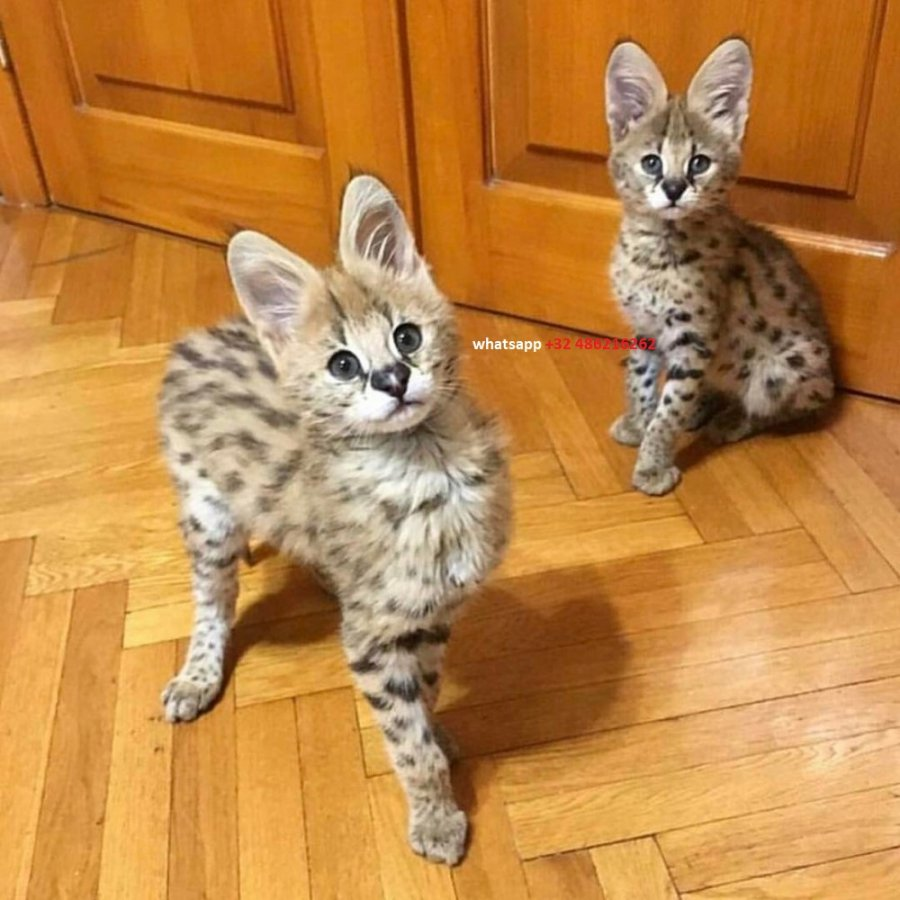 Beautiful Serval and F1 Savannah Kittens Available   offer Cats & Kittens