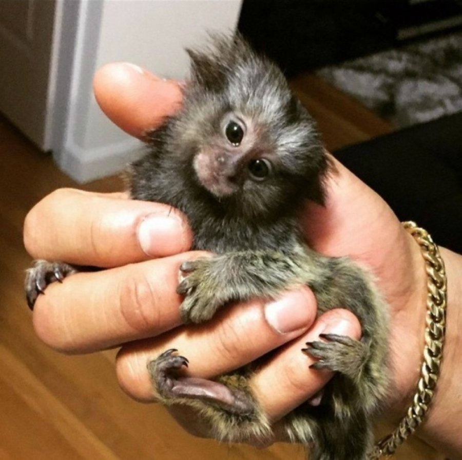 Adorable and Sweet Marmoset Monkey offer Exotic pets