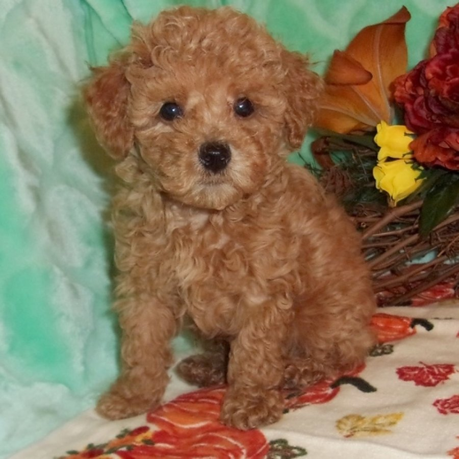 Cute Poodle Puppies for Adoption offer Dogs & Puppies
