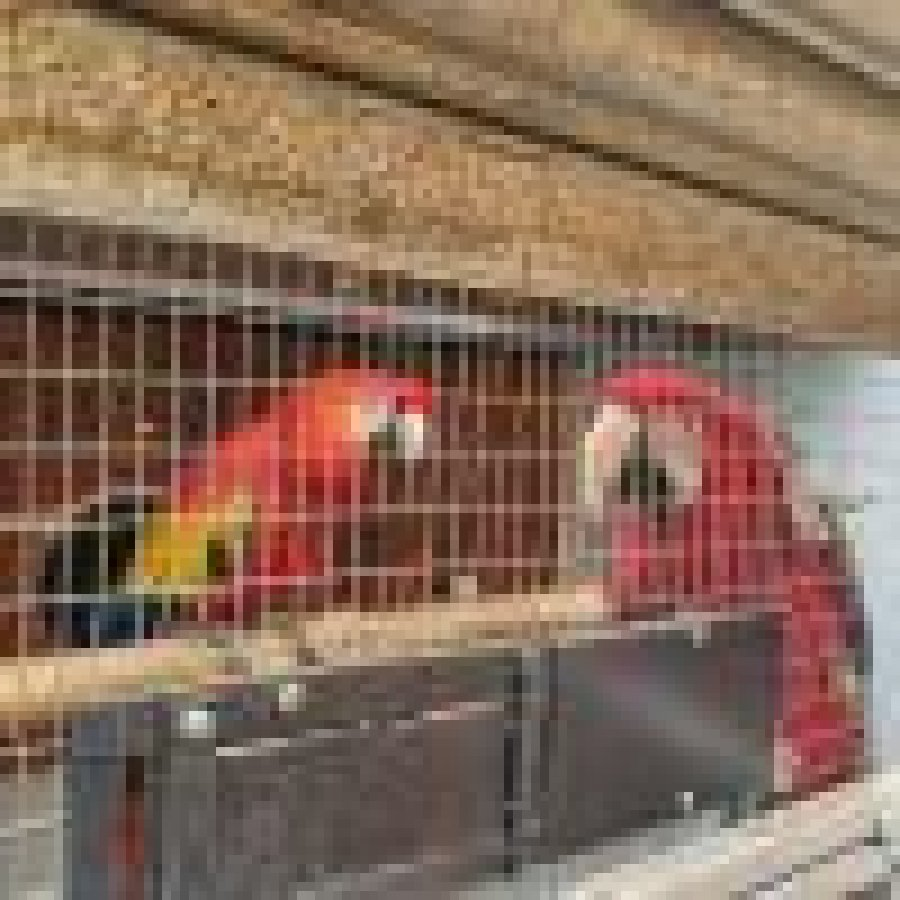 Beautiful females Green Wing scarlet Macaws offer Macaws